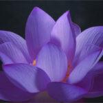 Lilac_Lotus